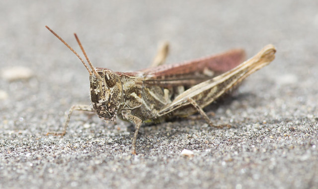 field grasshopper 2