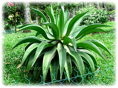 Agave desmettiana (Smooth Agave, Smooth/Dwarf Century Plant), at a residential park nearby