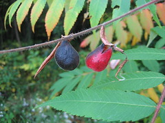 Sumac Apples? (Georgian Bay Dreamer) Tags: fall insect colours sumac