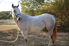 9 year old Grey Rope horse (tanyerhide) Tags: show ranch horses horse tree home kids training cow washington cowboy mare texas tank forsale realestate ride cattle farm country jet cash business trail riding prca dash longhorns breeding cutting land playboy freckles safe easy cowgirl calf colt pleasure stud saddle crates peppy beginner lessons buckskin reiner advanced pepto steers sorrel bred clinics horsemanship countryhome blueroan tomdavis redroan bayroan tracidavis tntweatherford woman~wife~mom~multitasker wwwcowboy4salecom ropetiedown colttraine