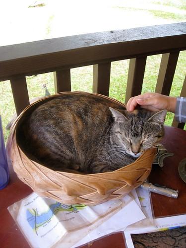 kauai cat
