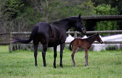 Neuland Sapphire (neulands) Tags: horse cheval lucy young pferd colt sapphire foal fohlen onedayold neulandstud sirshutterfly dahasleader