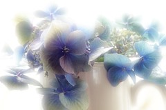 FEELING THE BLUES (craftedfromtheheart) Tags: uk flowers friends love photoshop health northernireland hydrangeas castlerock inmykitchen cs5 colondonderry craftedfromtheheart amandakillen oneofmyididntwanttodealwithanythingperiods photographydoesactuallykeepmesane