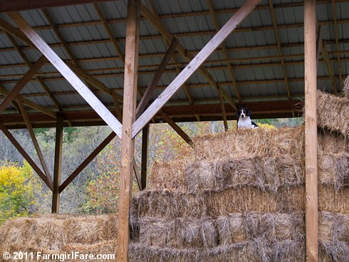 Bert on lookout duty in the haybarn - FarmgirlFare.com