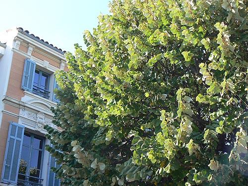 le grnad tilleul de la mairie de Chateauneuf.jpg