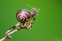 Brief Encounter (Vie Lipowski) Tags: nature bug insect snail tendril hoverfly detritivore starekoluszkipoland