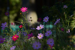 (Fransois) Tags: street flowers art fleurs montréal bokeh 花 rue cosmos waverly