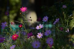(Fransois) Tags: street flowers art fleurs montral bokeh  rue cosmos waverly