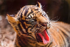[フリー画像] 動物, 哺乳類, 虎・トラ, 欠伸・あくび, 201109131100