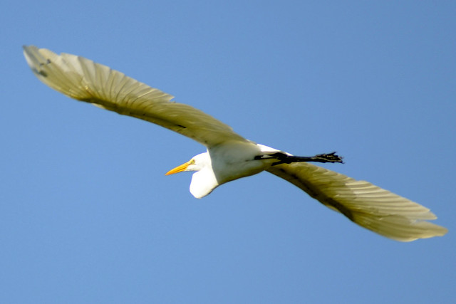 egret flight three 2011