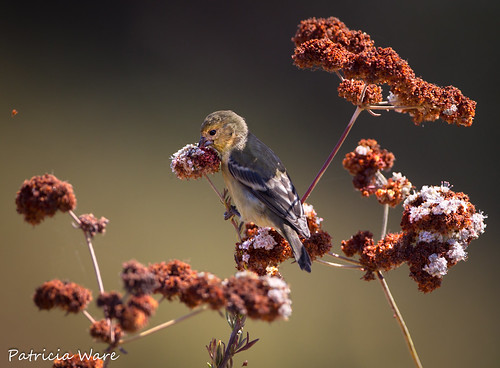 Dark-backed Lesser Goldfinch Snagging Seeds