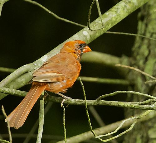 cardinal by Wizoc