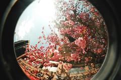float (rocketcandy) Tags: pink flowers blue sky fish canada flower tree eye film nature vancouver analog 35mm cherry dance spring lomo lomography branch afternoon bc blossom dream windy fisheye petal explore cuddle photowalk cherryblossom imagination sakura cherryblossoms loves fade 365 2009 breezy springtime drift starred sakuras project365 365days explored 365project rainspace highjulyedit
