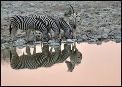 Zebras and pink - Rosa e zebrato (NOT IN ZOO) (Viaggiatrice71) Tags: pool wildlife zebra namibia etosha bestcapturesaoi elitegalleryaoi artistoftheyearlevel3 artistoftheyearlevel4 ayrphotoscontestwildanimals