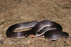 Ninia atrata (Alfredo Snchez-Tjar) Tags: southamerica animal snake venezuela culebra herp viejita reptil serpiente ninia colubridae ofidio atrata nirgua guquira herpeto culebradetierra fosorial niniaatrata haciendaguquira macizonirgua cerrozapatero