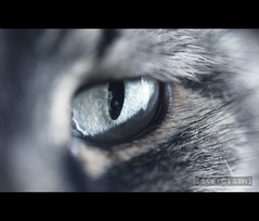 eye of the tiger_0753 (| steTt | guarisco&torno) Tags: pet eye animal cat canon gatto occhio animale 100macro canon60d
