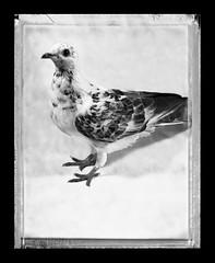 Blooper (eimmm) Tags: portrait blackandwhite bird film birds studio polaroid pigeon dove pigeons roller 4x5 polaroids type55 instantphotography homingpigeon instantfilm