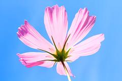 [フリー画像] 花・植物, 秋桜・コスモス, ピンク色の花, 201109250700