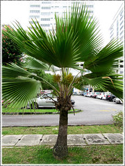 Pritchardia pacifica (Fiji Fan Palm, Pacific Fan Palm), seen near Hospital Pantai Ampang, KL - Sept 20 2011