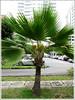 Pritchardia pacifica (Fiji Fan Palm, Pacific Fan Palm)