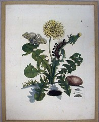 Plate 8 from Merian's Der Raupen wunderbare... (University of Glasgow Library) Tags: maria darwin naturalhistory or