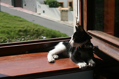perched on the windowsill (Serenae) Tags: pink pet baby white black cute window cat fur nose kitten adorable whiskers trouble morocco tuxedo loki windowsill tangier 2011