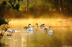 Familie Schwan beim Morgenausflug ~ EXPLORE ~ (dorena-wm) Tags: morning family light mist nature river bayern bavaria licht swan familie natur explore fluss schwan morgen heimat noahsark dunst ammer oberland schwne abigfave unterhausen coth5 dorenawm altammer
