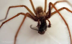 Feeding Time! (Sair Jane) Tags: macro male spider scary flickr legs arachnid evil creepy canon350d arachnophobia arthropoda longlegs arachnida araneae housespider tegenaria tegenariadomestica malespider funnelwebweavers