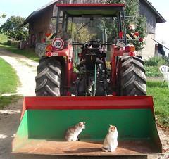 Traktor besetzt (Werner_Schmutz) Tags: cats tractor cat schweiz switzerland traktor suisse suiza suia mf svizzera katzen baselland masseyferguson eptingen baselbiet blchen mf265
