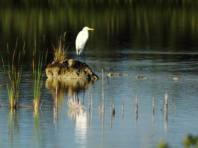Great Egret 20110923