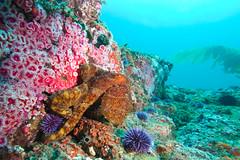 Octo5Sept23-11 (divindk) Tags: underwater scuba diving spot octopus scubadiving channelislands octo anacapa underwaterphotography octopusbimaculoides twospotoctopus diverdoug bimacoctopus ocotpusbimac