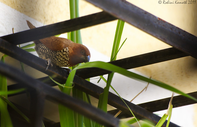 Spotted Munia in Action