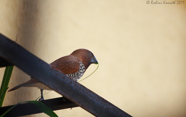 Spotted Munia with lemongrass