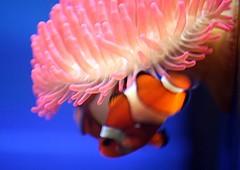 Clownfish (tasj) Tags: clownfish anemonefish diergaardeblijdorp driebandanemoonvis