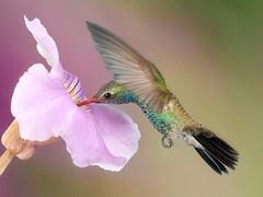 Breakfast...... (Alfredo11) Tags: naturaleza flower bird art nature breakfast fly niceshot hummingbird arte flor ave pajaro desayuno glutton vuelo colibri picaflor pajarillo gloton mygearandme ringexcellence
