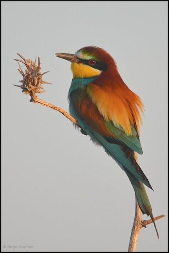 Abelharuco / Bee-eater / (Merops apiaster) by Sérgio Guerreiro
