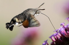 """Macroglossum stellatarum"" - kolibrievlinder , explored! ( #238 ) (bugman11) Tags: flowers flower macro nature animal animals fauna canon butterfly bug insect flora nederland thenetherlands butterflies insects bugs wow1 thegalaxy specinsect flickraward platinumheartaward ahqmacro 100mm28lmacro mygearandme mygearandmepremium mygearandmebronze mygearandmesilver mygearandmegold mygearandmeplatinum mygearandmediamond ringexcellence vigilantphotographersunite infinitexposure"