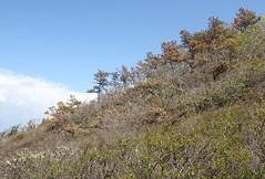 Coastal Bluff with Pitch Pine (sandy richard) Tags: usa newyork unitedstates geology wildwood calverton wildwoodstatepark newyorkstateparks sandyrichard longislandgeology sandrarichard