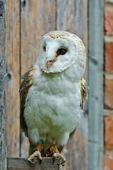 'Bea' the Barn Owl (drmerlin) Tags: nikon warwickshire barnowl birdsofprey hatton d7000