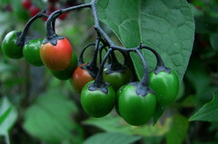 unripe wild berries (david_f_knight) Tags: berries wildberries woodynightshade woodynightshadeberries