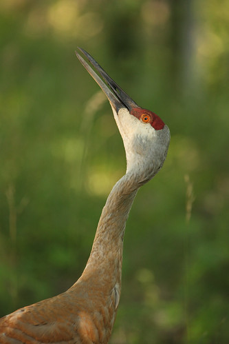 The male Sandhill Crane is always on alert for danger in the woods. Here he is watching and liste...