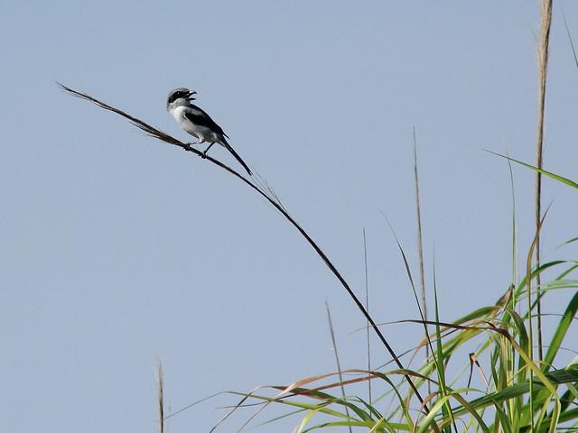 Loggerhead Shrike 20111001