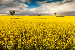 Canola Fields - Wollogorang NSW (sachman75) Tags: yellow landscape spring farm australia farmland newsouthwales canberra rapeseed polariser federalhighway canolafields canon35mmf14 canon5dmarkii singhrayvarinduo