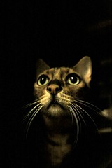 Best Cat Photo,  Ever (secondhobby) Tags: brown cat pretty handsome best greeneyes spotted saki bengal