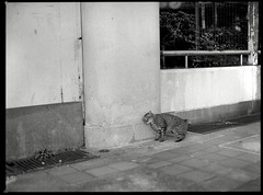 cat live nearby me (Egg Cheung) Tags: cat ilfordhp5plus 80mmf19 mamiyam6451000s