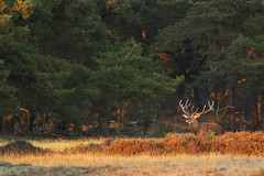 IMG_4846 (avandermeijde) Tags: red deer herten burlen edelherten bronst