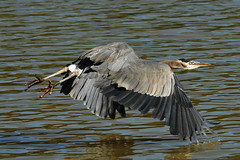 Low and Close (ozoni11) Tags: lake bird heron nature birds animal animals nikon wildlife lakes maryland columbia wetlands greatblueheron herons wetland columbiamaryland d300 greatblueherons ornitholgy lakekittamaqundi michaeloberman ozoni11 avianexcellence