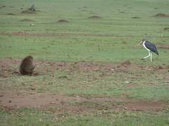 Baboon eating a gazelle (Carlos Affonso) Tags: africa kenya safari masai maasai savanna masaimara maasaimara savana qunia