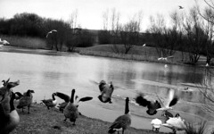 Geese vs. seagulls (Joybot) Tags: white lake canada black bird film water 35mm 50mm fly flying geese wings pond chaos seagull gull side flight attack bank goose lakeside flapping flap fujica waterside vicious melee circling stx1n bwfp