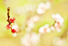Budding........... (Stacey Price (Roxy_77)) Tags: ocean summer nature spring nikon blossom peach stamen lambs rebirth peachtree renewal fertile rejuvenation d90 nikkor50mm changeofseasons changeofseason nikond90 d90and50mm